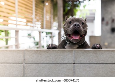 The cute Pit bull terrier puppy dogs