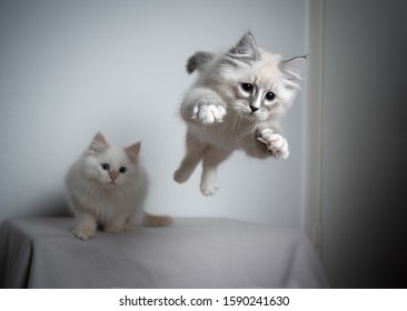 cute playful blue silver tabby point white ragdoll kitten jumping and flying in the air playing and looking ahead very focused. another kitten is watching in the background