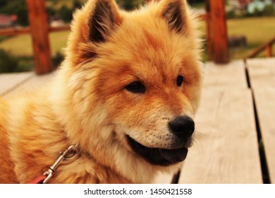 Cute and playful chow chow dog