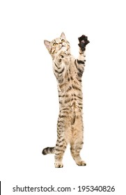 Cute playful kitten Scottish Straight standing on his hind legs