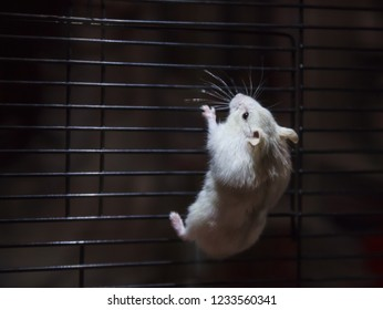 Cute Playful Little Winter White Dwarf Hamster (Winter White Dwarf, Djungarian, Siberian Hamster) climbing on cage in dark background in search of freedom, Fleeing. Human pet friend, animal concept