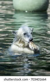 cute polar bear in water