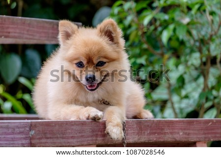 Cute Pomeranian Dog Brown Color Stock Photo Edit Now 1087028546