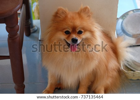 Cute Pomeranian Dog Brown Color Stock Photo Edit Now 737135464