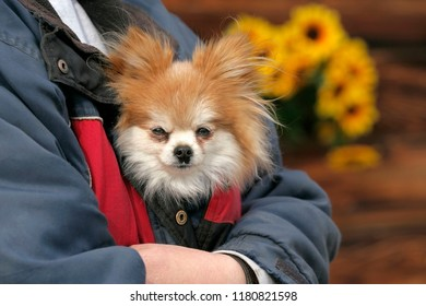 Cute Pomeranian Dog carried in jacket, peaking out.