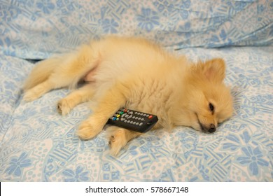 Cute pomeranian dog fall asleep holding television's remote controller, tired or boring tv program concept.