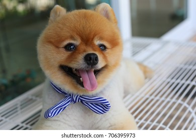 cute pomeranian dog happy smile laying on seat bench waiting owner in front of cafe, pets grooming short hair style round face