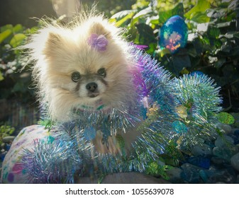 Cute pomeranian dog on easter egg hunt. A tiny and beautiful pomeranian dog in a garden hunting for hidden easter eggs and gets wrapped in a glittery decoration.