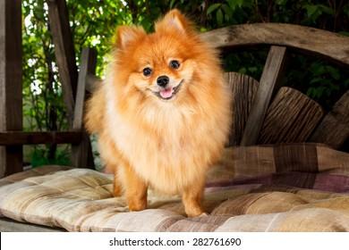 cute pomeranian dog portrait at home, puppy.