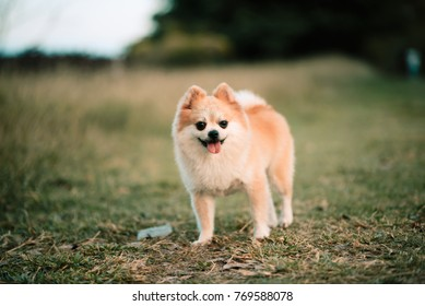 Cute pomeranian dog in the public park