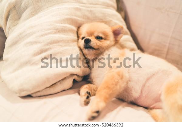 Un mignon chien poméranien dormant sur un oreiller sur un lit, dans une chambre claire et tamisée, avec espace pour copie