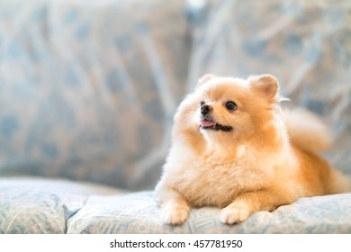 Cool Chinese Chubby Adorable Dog - cute-pomeranian-dog-smiling-on-260nw-457781950  HD_913716  .jpg
