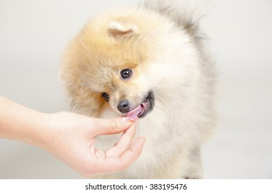 Cute Pomeranian puppy licking a hand with dog food (on a gray background, with focus on the hand)