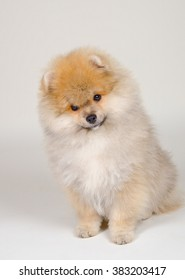 Cute Pomeranian puppy (on a gray background)