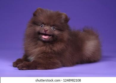Cute Pomeranian puppy on lilac background
