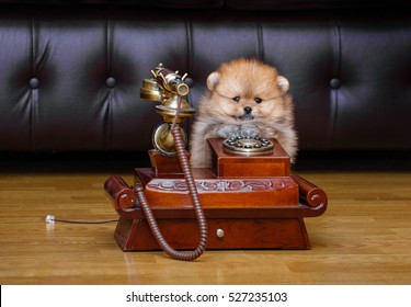 Cute Pomeranian puppy on a white background. funny picture. Mechanical retro phone.