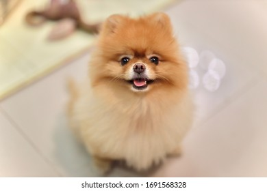Cute Pomeranian sitting on the floor