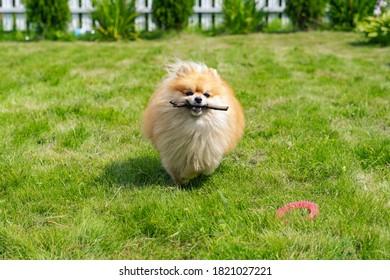 cute pomeranian spitz frolicking on the lawn