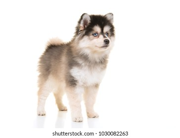 Cute pomsky mini husky puppy standing on a white background