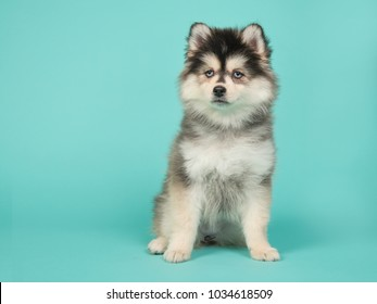 Cute pomsky puppy with blue eyes sitting on a turquoise blue background