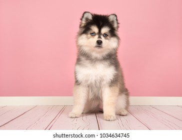 Cute pomsky puppy sitting and looking at the camera in a pink living room studio setting