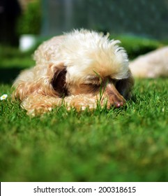 Cute poodle dog lying on green grass