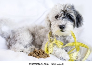 cute poodle dog  with measuring meter in the mouth