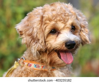 cute poodle dog on nature background