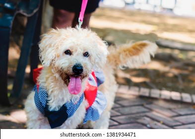 cute poodle dressed walking white in park of the colonial area of Santo Domingo