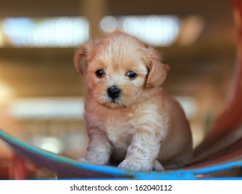 Cute Poodle Puppy sitting
