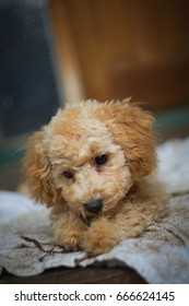 Cute Poodle with sleepy eye lay down on his blanket. Baby dog get warm in his holder house.