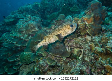 A cute porcupine fish swimming on the colorful reef of Bonaire island in the Caribbean