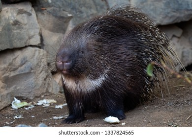 Cute porcupine relaxing in nature. Animal scene.