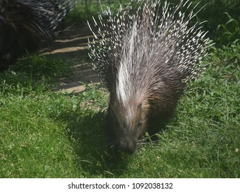 Cute porcupine with white quills on its head