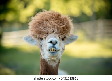 cute portrait of alpaca with soft green background. fuzzy brown hair on sweet face.