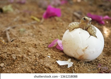 Cute portrait of baby Africa spurred tortoise hatching  ,Birth of new life ,Closeup of a small newborn tortoise ,Cute portrait of baby tortoise ,African Sulcata Tortoise Natural Habitat