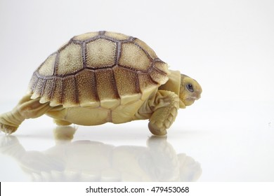 Cute portrait of baby Africa spurred tortoise walking on white background ,Birth of new life ,Closeup of a small newborn tortoise on white background