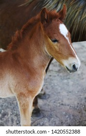 Cute portrait of a baby foal with fluffy mane. Little horse head with a white asterix in the forehead. Domestic farm animals breeding. Brown baby horse with a Thoroughbred mother on the background.