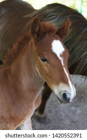 Cute portrait of a baby foal with fluffy mane. Little horse head with a white asterix in the forehead. Animals breeding. Brown baby horse with a Thoroughbred mother on the background. Stallion.