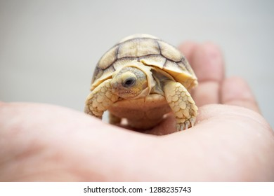 Cute portrait of baby tortoise hatching (Africa spurred tortoise) ,Birth of new life ,Closeup of a small newborn tortoise ,Cute portrait of baby tortoise