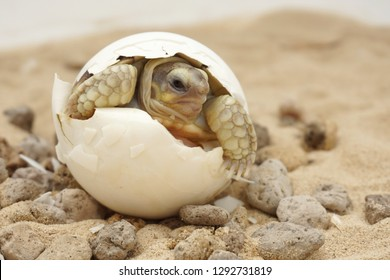 Cute portrait of baby tortoise hatching ,Birth of new life ,Closeup of a small newborn tortoise ,Cute portrait of baby tortoise ,African Sulcata Tortoise Natural Habitat