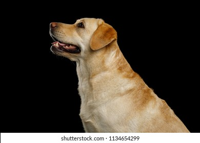 Cute Portrait of creame Labrador retriever dog Looking up on isolated black background, profile view