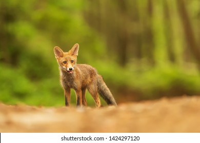 cute portrait cub male red fox (Vulpes vulpes)