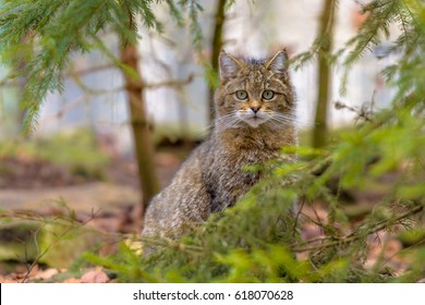 Cute portrait of European wild cat (Felis silvestris) peeking from behind bushes in natural mountain forest environment