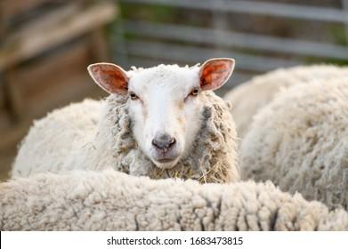 Cute portrait of farm animal sheep, lamb on spring.