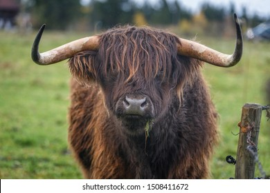 Cute portrait of a hairy yak with a blade of grass in his mouth. Close-up. Portrait of a bull. The bison is brown. Huge horns. Free grazing. Farming in Europe.