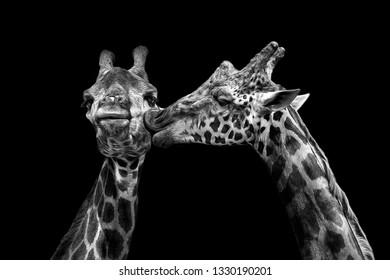 Cute portrait of kissing giraffe