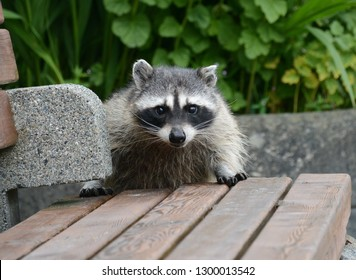 Cute portrait of Raccoon peering over bench with green bushes in background