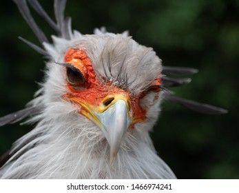 Cute Portrait of Secretary Bird