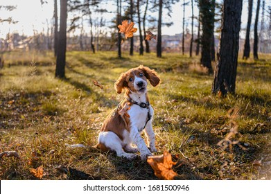 Cute portrait of welsh springer spaniel dog breed outside in autumn forest.